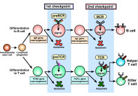 Lymphocyte develpment